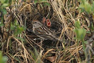 Tree-sparrow-with-chicks-in-nest_w725_h485